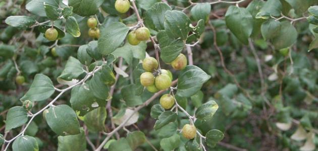 صورة شكل ورق السدر , ما هو نبات السدر وكيف يكون شكله