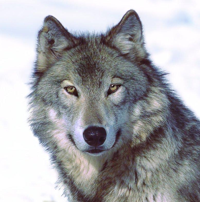 صور من اسماء الذئب , ما هي اسماء الذئب المختلفه