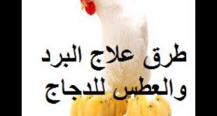 علاج الدجاج بالثوم , الثوم العلاج السحرى لكل امراض الدجاج