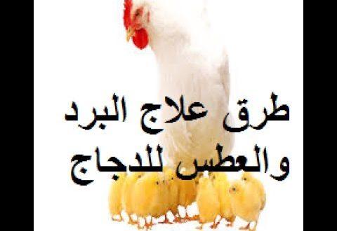 صورة علاج الدجاج بالثوم , الثوم العلاج السحرى لكل امراض الدجاج