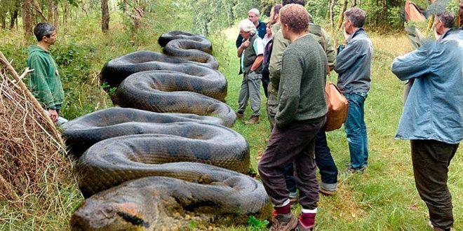 صورة اكبر ثعبان في العالم حقيقي , لن تصدق اكبر ثعبان فى العالم مررررعب بجد