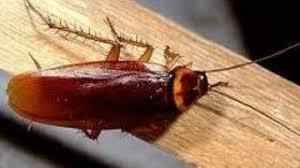 صورة صراصير الخشب الصغيرة , كيف تتخلص من صراصيرالخشب فى غمضه عين 3445 2