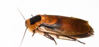صورة صراصير الخشب الصغيرة , كيف تتخلص من صراصيرالخشب فى غمضه عين 3445 3