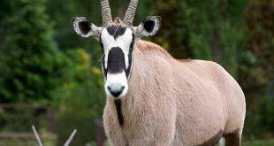 صورة حيوان المها العربي , معلومات هامة عن حيوان المها