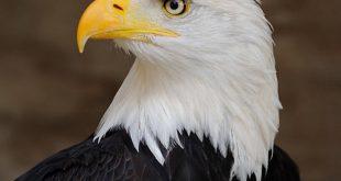 صورة الفرق بين النسر والصقر , اقوي الطيور الجارحة