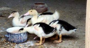 صورة معلومات عن البط , ماكولات البط الشهية