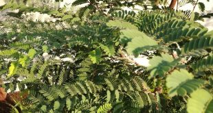 صورة شجرة تمر هندي , فوائد غزيرةللتمر هندي