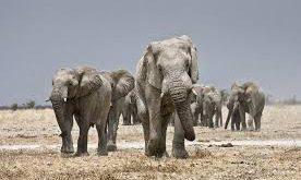صورة كم وزن الفيل , اضخم الحيوانات واثقلها وزنا تعرف عليه 133 7 276x165