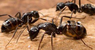 رؤية النمل الاسود في الحلم , النمل الاسود في المنام